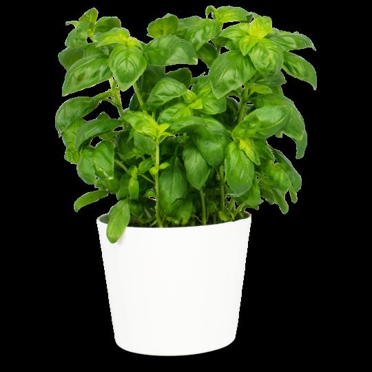 Basilic maison en pot